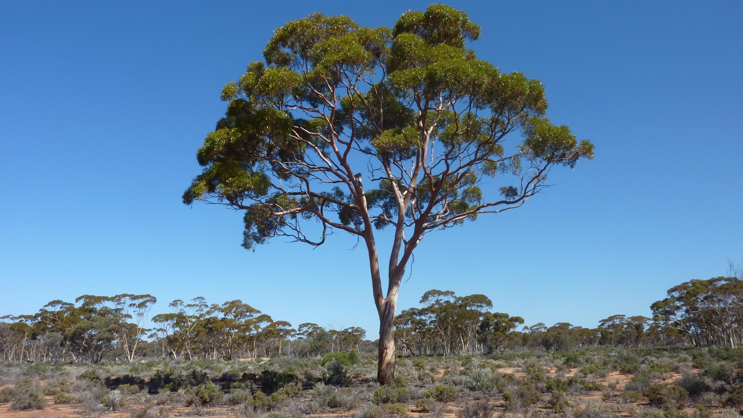 Gum tree 1
